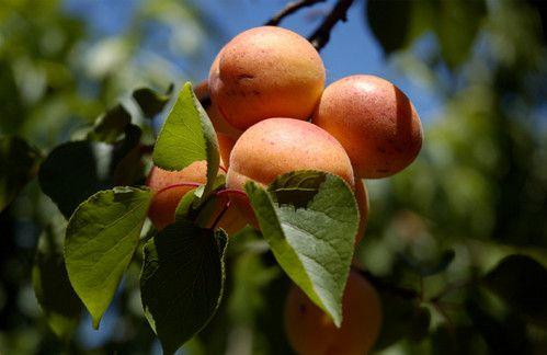 Базове масло - абрикосове.
