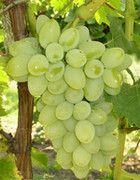 Масло виноградних кісточок-застосування