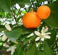 Царство ефірного масла мандарина.