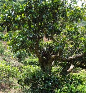 Чайне дерево.