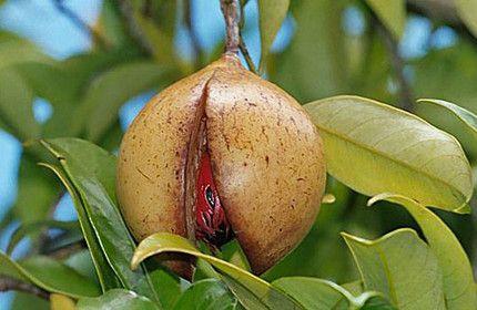 Ефірна олія мускатного горіха.