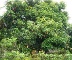 Мангове дерево - незвичайне і величне.