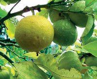 Вся правда про хімічному будову ефірного масла бергамота.